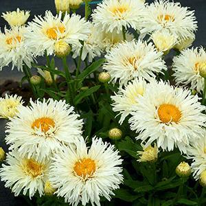 Daisy Shasta Coconut    - Leucanthemum superbum -  lg pot